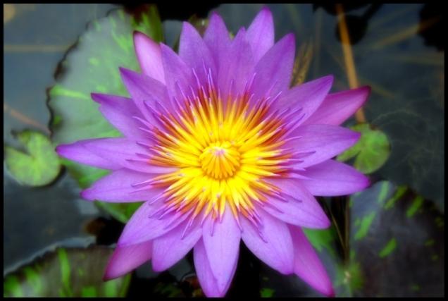 Kwiat lotosu jest piękny i smaczny